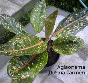 Donna Carmen