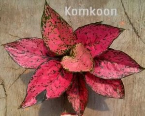Aglaonema Komkoon