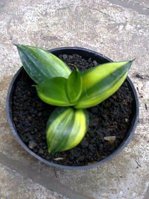 Green Mould Varigata