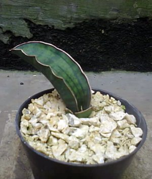 Sansevieria Sinus Simiorum