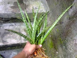 Kanlayensis