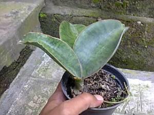 Mason hybrid