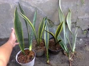 Sanse trifas n flat leaf 1