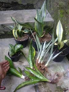 Sanse trifas n flat leaf 2