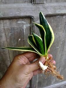 Bk Jade marginata