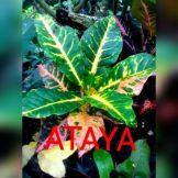 wpid-ataya-mt.jpg.jpeg
