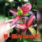 wpid-merah-mt.jpg.jpeg