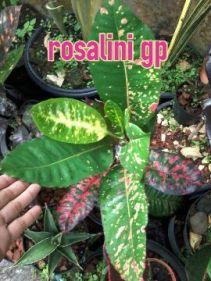 wpid-rosalini.jpg